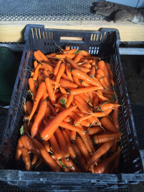 Carrots - Orange without tops