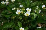 Strawberries flowering