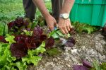 Harvesting Salad Mix