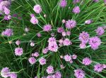 Chive blossoms