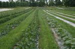 Zucchini plants with living mulch between beds