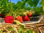 Ripe strawberries for the picking
