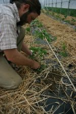 Planting tomatoes in high tunnel