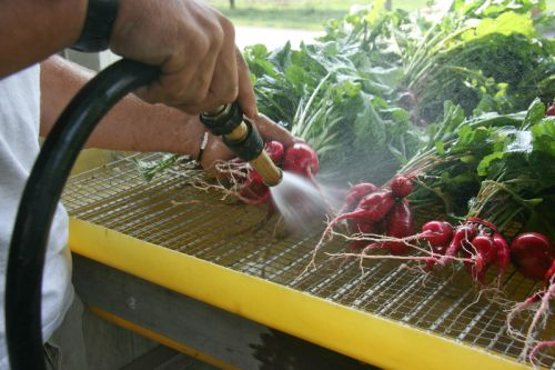 Washing Radishes