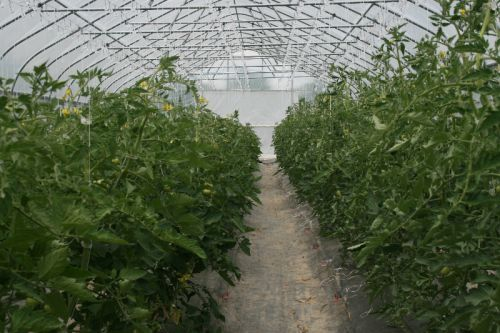 High tunnel tomatoes