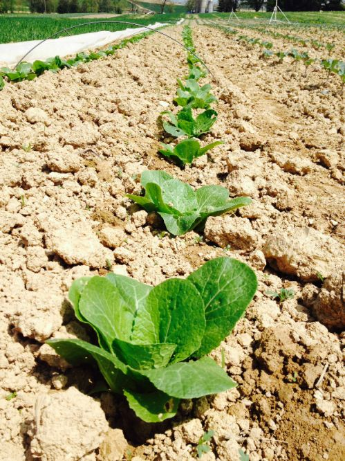 Napa Cabbage transplants