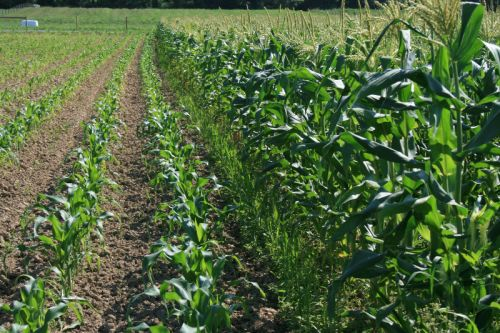2 successions of sweet corn