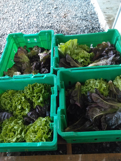 Mixed lettuce heads