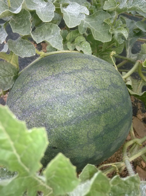 watermelon on the vine