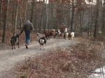 Walking the goats down Henry Highway