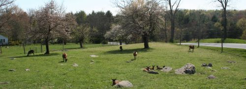 Goats in the Orchard