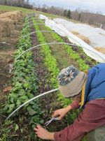 Jed harvesting greens