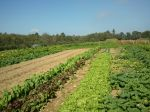 organic crops growing in summer season