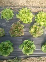 mini lettuce heads