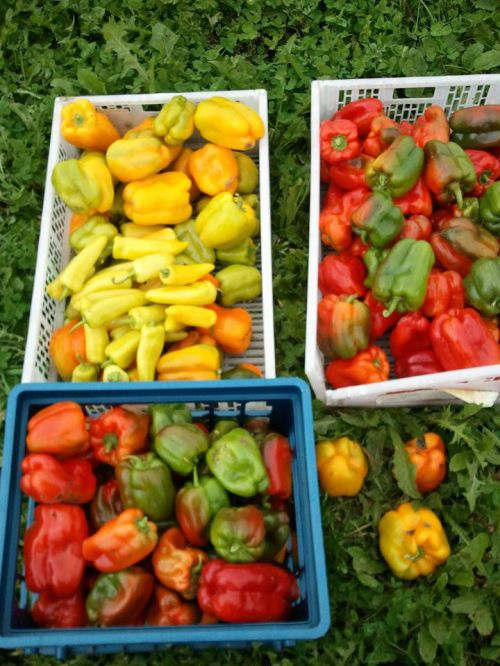 red, yellow, and green bell peppers