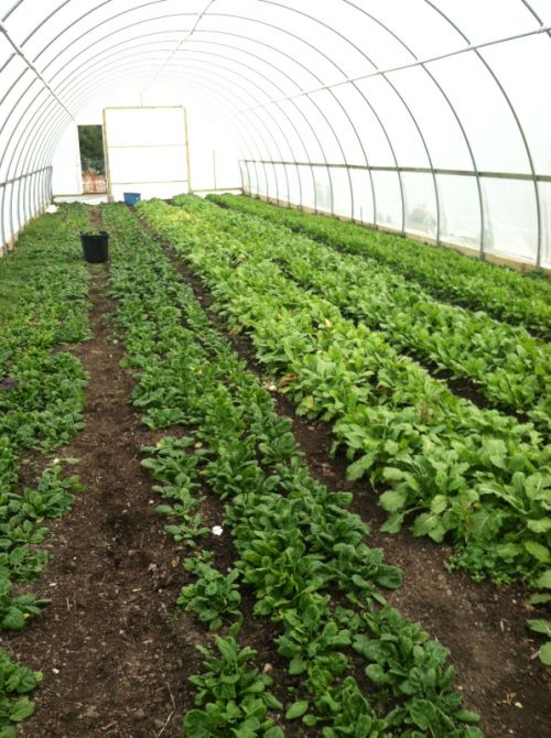 Spinach and Baby Turnips growing in November in a High Tunnel