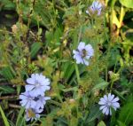 bees in chicory