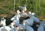 muscovy ducks in orchard