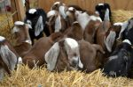 baby goats in waiting 2