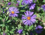 newengland aster