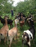 goats eating apples in orchard