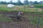 hogs final day on the farm