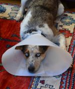 with cone of shame
