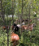 goats in cottonwood stand