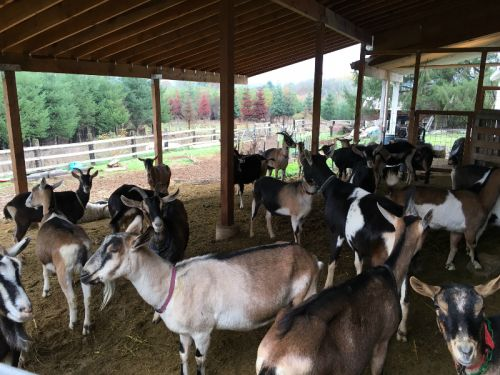 fraga farm goats