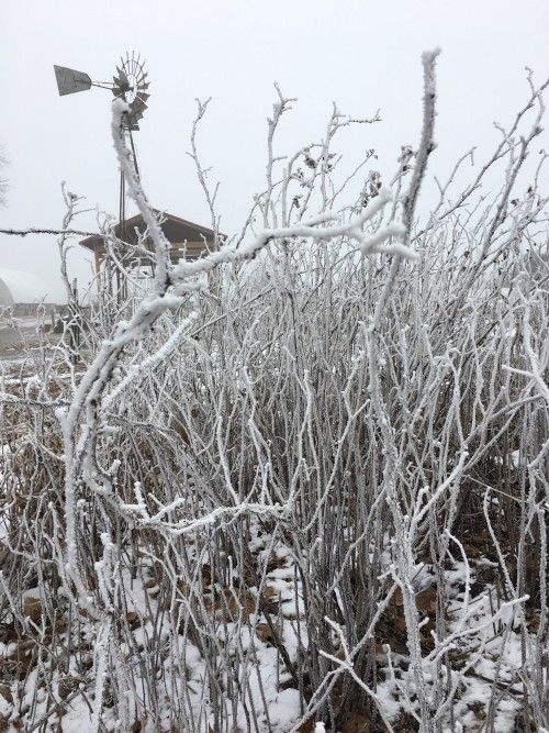 hoar frost on brambles