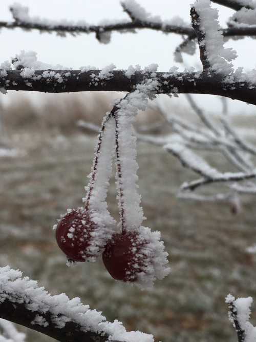 hoar frost on crab apples