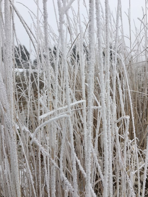 hoar frost on prairie grass
