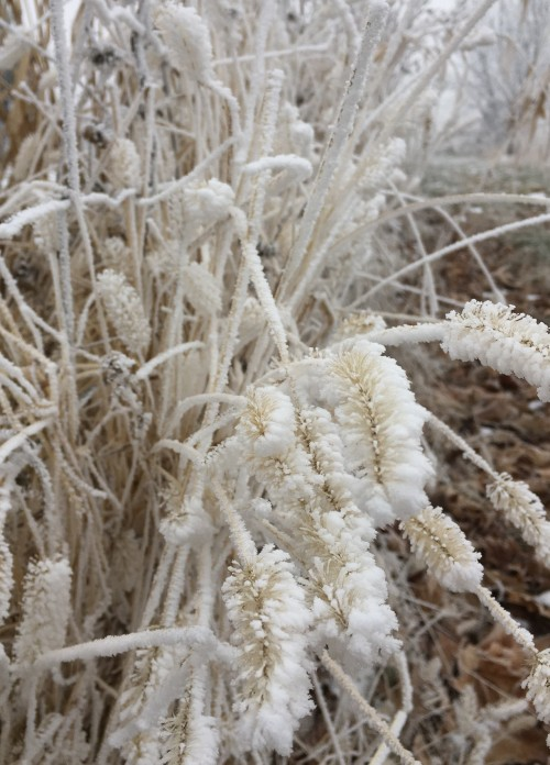 hoar frost on seed heads