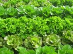 Lettuce almost ready for harvest