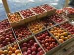 The first big picking of tomatoes 2014