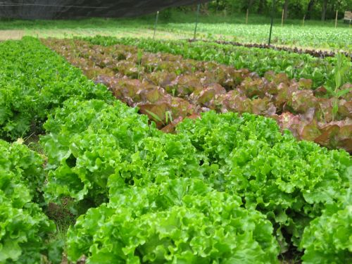 Lettuce Patch Under the Shade Cloth