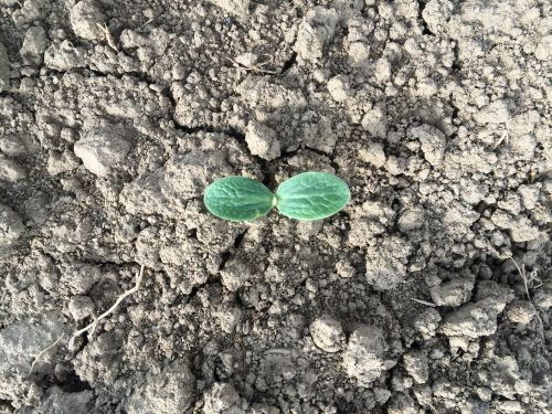 Winter Squash Seedling