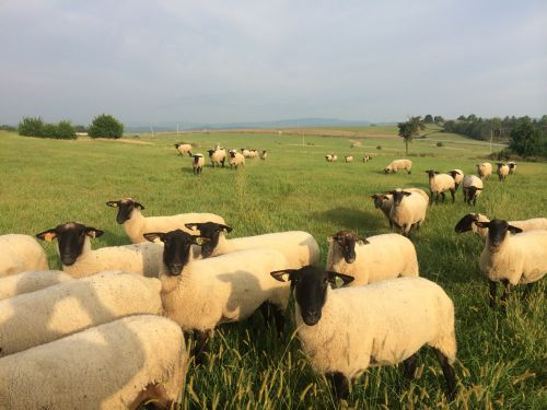 The ewe flock coming in from pasture