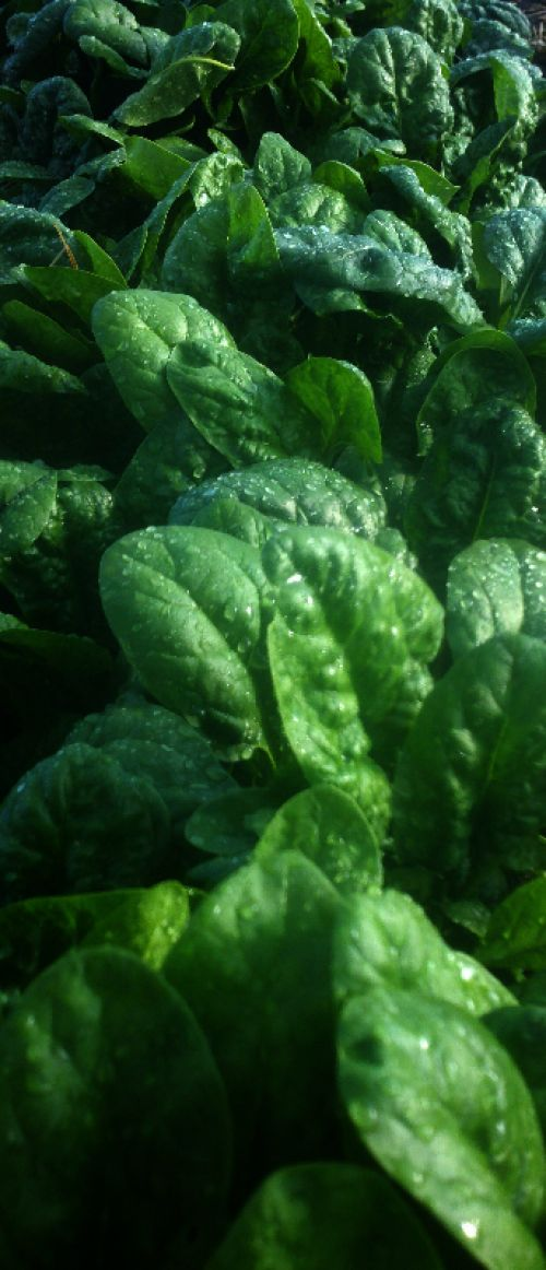 Spinach in the hoop house