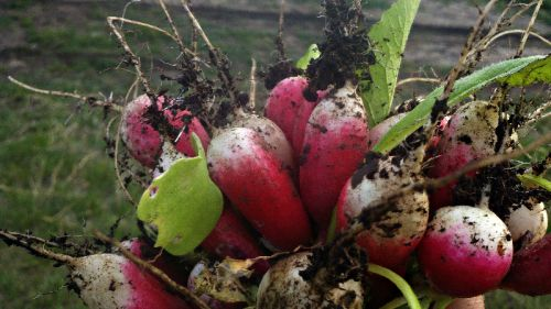 First radishes of the year