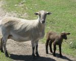 Lorraine (Ewe mom) and Dotty (lamb born 6/9/11)