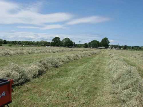 Hay raked in rows for baling