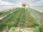Young tomatoes in Hightunnel