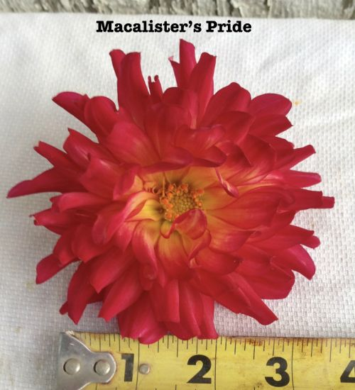 Macalister's Pride