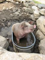 This pig cools off on a hot summer day!