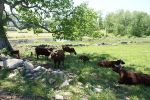 The cattle lounging under an enormous  oak tree