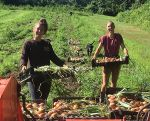 Interns Paris and Kate harvesting onions