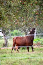 Grass fed and Apples too!