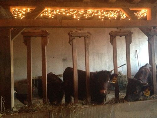 Cows like Christmas lights too!