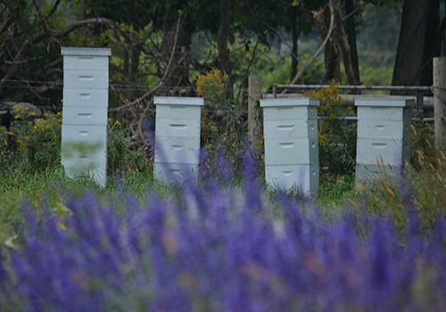 The bee boxes framed by purple Salvia